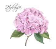 Hydrangea hortensia roze realistische illustratie Royalty-vrije Stock Afbeeldingen