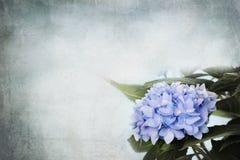 Hydrangea hortensia's stock afbeelding