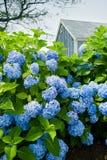 Hydrangea hortensia's Royalty-vrije Stock Afbeeldingen