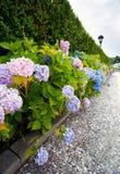 Hydrangea hortensia's Stock Fotografie