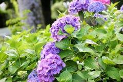 Hydrangea hortensia's in Engelse tuin royalty-vrije stock foto's