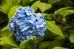Hydrangea hortensia's in Japan Stock Foto's