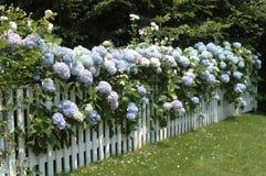 Hydrangea hortensia's op een omheining Royalty-vrije Stock Foto's