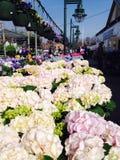 Hydrangea hortensia's voor verkoop Stock Afbeeldingen