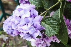 Hydrangea hortensia'sblauw Royalty-vrije Stock Fotografie