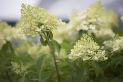 Hydrangea hortensia - Schijnwerper Stock Foto