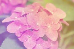 Hydrangea hortensia van de onduidelijk beeld de Uitstekende Stijl voor Achtergrond Royalty-vrije Stock Foto's