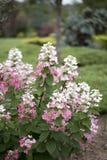 Hydrangea hortensia - Vanilleaardbei Stock Foto