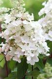 Hydrangea hortensia in volledige bloei Stock Foto