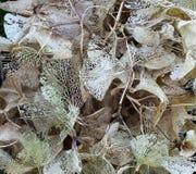 Hydrangea hortensia in wintertijd royalty-vrije stock afbeelding