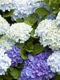 Hydrangea hortensiaachtergrond Royalty-vrije Stock Afbeelding