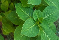 Hydrangea hortensiablad Royalty-vrije Stock Fotografie