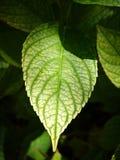 Hydrangea hortensiablad Stock Foto's