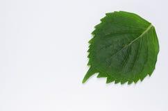 hydrangea hortensiablad op Witboekachtergrond Stock Fotografie