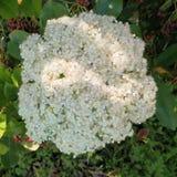 Hydrangea hortensiabloei Stock Afbeeldingen