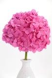 Hydrangea hortensiabloem Stock Afbeelding
