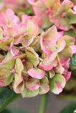 Hydrangea hortensiabloem Stock Fotografie