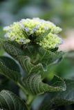 Hydrangea hortensiabloem Royalty-vrije Stock Afbeelding