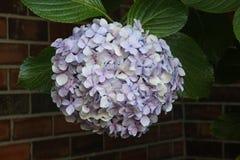 Hydrangea hortensiabloem Royalty-vrije Stock Afbeeldingen