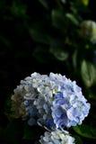 Hydrangea hortensiabloem Stock Foto's