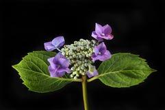 Hydrangea hortensiabloem tegen zwarte Royalty-vrije Stock Afbeelding