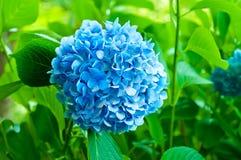 Hydrangea hortensiabloemen Royalty-vrije Stock Afbeelding