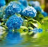 Hydrangea hortensiabloemen stock fotografie