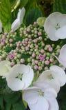 Hydrangea hortensiabloemen Stock Afbeeldingen