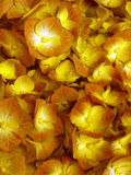 Hydrangea hortensiabloemen Royalty-vrije Stock Foto