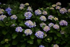 Hydrangea hortensiabloemen Stock Foto