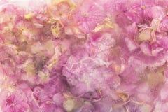 Hydrangea hortensiabloemen in Ijsblokje worden bevroren dat Royalty-vrije Stock Foto's