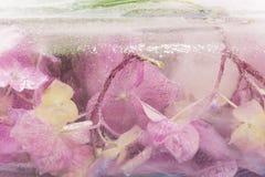 Hydrangea hortensiabloemen in Ijsblokje worden bevroren dat Royalty-vrije Stock Afbeelding
