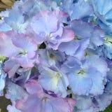 Hydrangea hortensiabloemen in Mauve Roze Blauw Royalty-vrije Stock Afbeeldingen