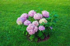 Hydrangea hortensiabloemen in tuin royalty-vrije stock fotografie