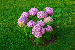 Hydrangea hortensiabloemen in tuin royalty-vrije stock foto's