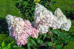 Hydrangea hortensiabloemen in tuin stock fotografie