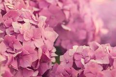 Hydrangea hortensiahoek Stock Fotografie