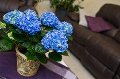 Hydrangea hortensiainstallatie in een woonkamer Royalty-vrije Stock Afbeelding