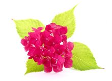 Hydrangea hortensiamacro Royalty-vrije Stock Fotografie