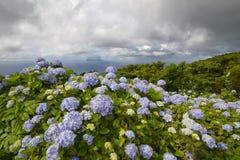 Hydrangea hortensiamacrophylla, Flores-eiland, de Azoren, Portugal stock afbeelding