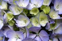 Hydrangea hortensiamacrophylla Hortensia Stock Afbeeldingen