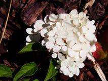 Hydrangea hortensiapaniculata ` Renhy ` ` Vanille Fraise ` - panicle hydrangea hortensia Royalty-vrije Stock Afbeeldingen