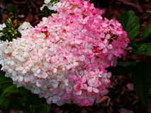 Hydrangea hortensiapaniculata ` Renhy ` ` Vanille Fraise ` - panicle hydrangea hortensia Royalty-vrije Stock Foto