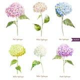 Hydrangea hortensiareeks Stock Afbeelding