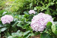 Hydrangea hortensiaserrata - bergachtige gebieden van Korea en Japan Royalty-vrije Stock Fotografie