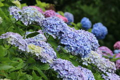 Hydrangea hortensiatuin Royalty-vrije Stock Fotografie