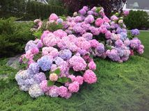 Hydrangea hortensiauitbarsting! stock fotografie