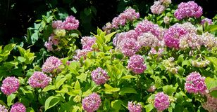 Hydrangea hortensis Royalty Free Stock Photos