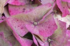 hydrangea hortensis Στοκ Φωτογραφίες