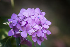 Hydrangea hortensis Stock Photos